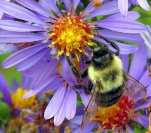 Taken by: mwms1916 https://www.flickr.com/photos/mmwm/ bumblebee on purple aster, 14 Oct 2014